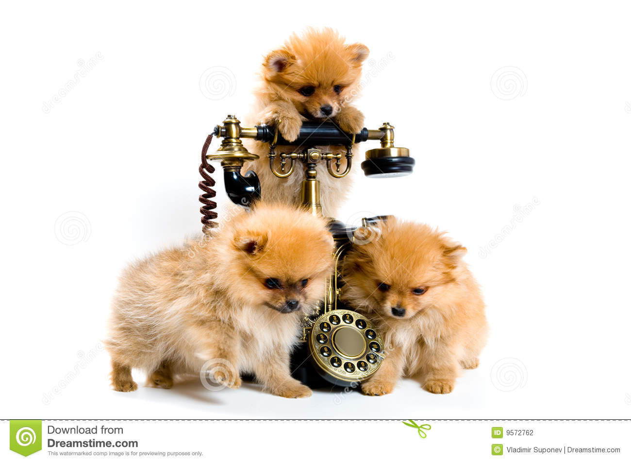 Puppies Of A Spitz Dog With Phone Stock Photography