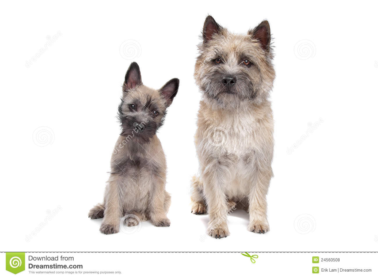 White Cairn Terrier Puppy Puppy and adult cairn Terrier
