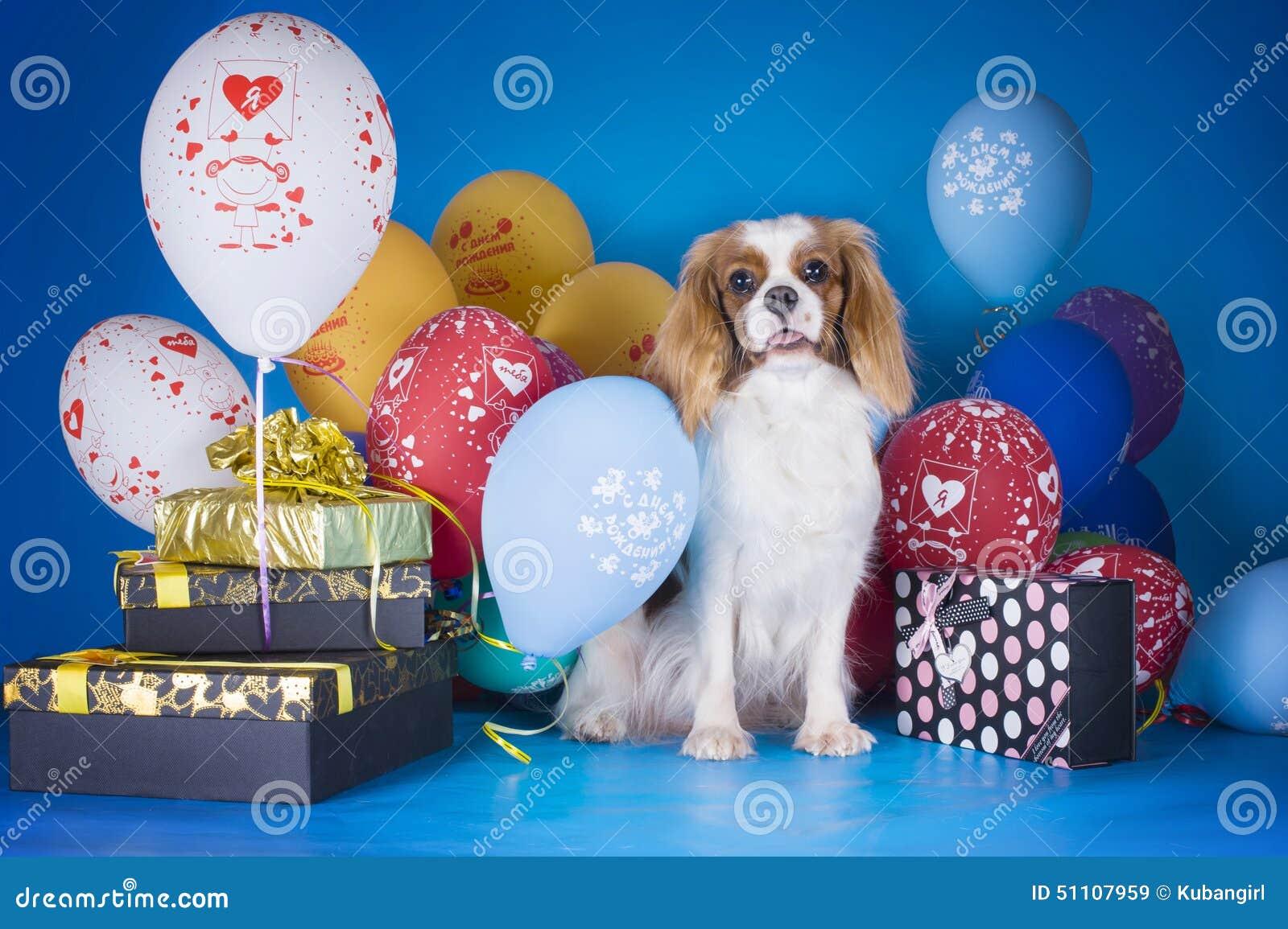 Puppy Arrogante Koning Charles Spaniel met ballons en giften op B