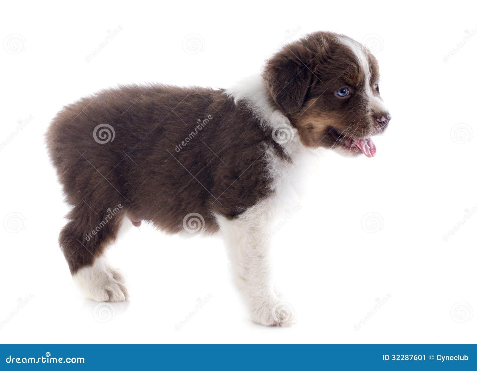 Puppy Australian Shepherd Stock Image - Image: 32287601