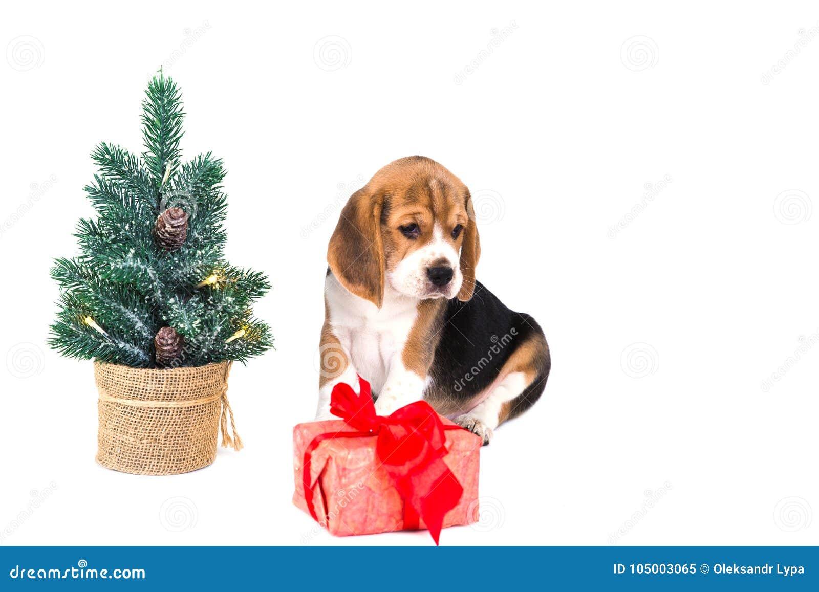 puppy beagle near christmas tree with pink box stock image image