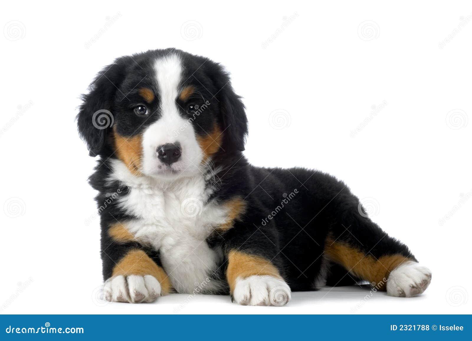 Bernese Mountain Dog Puppy Walking