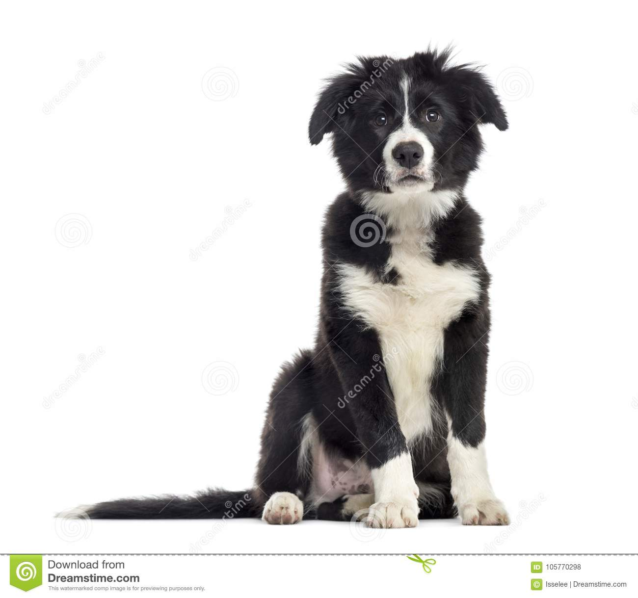 puppy border collie dog, 3 months old, sitting, isolated on whit