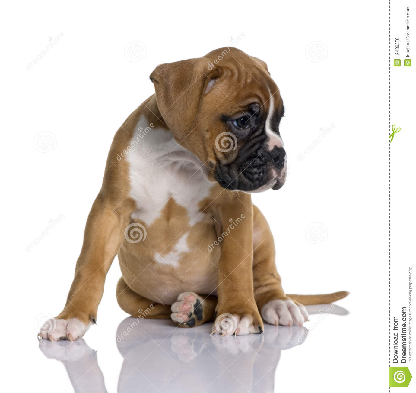 Puppy Boxer, 2 months old, sitting
