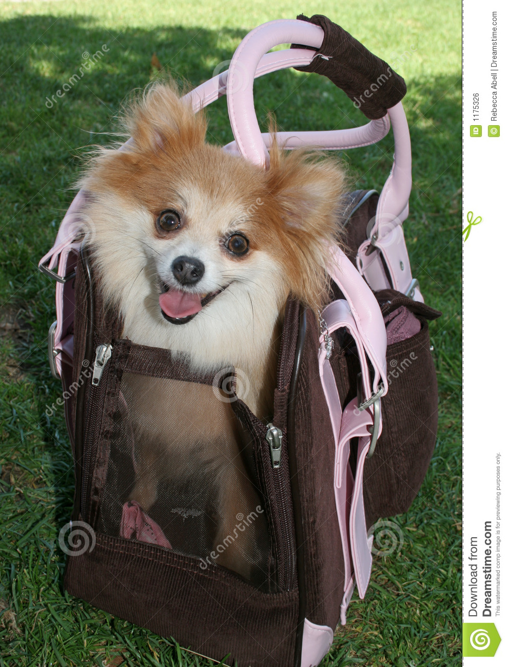 Puppy Carrier Stock Photo Image Of Green Pomeranian 1175326