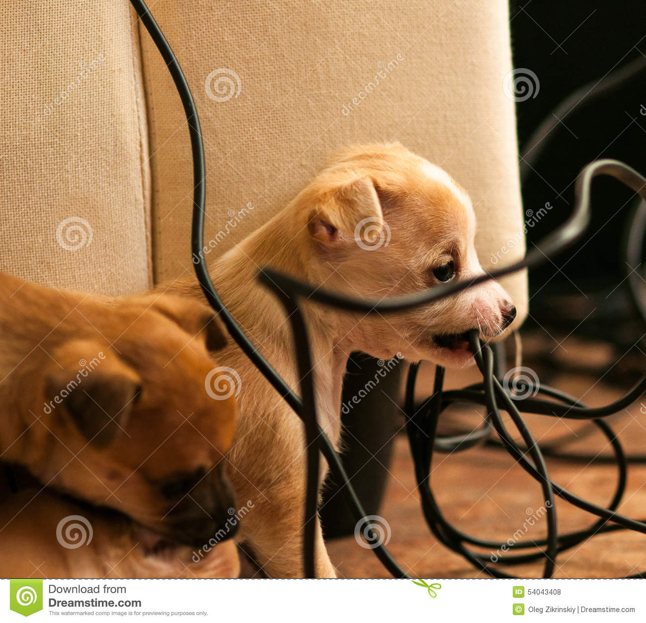 Puppy Chewing Electric Cord Stock Photo - Image of animal, wire ...