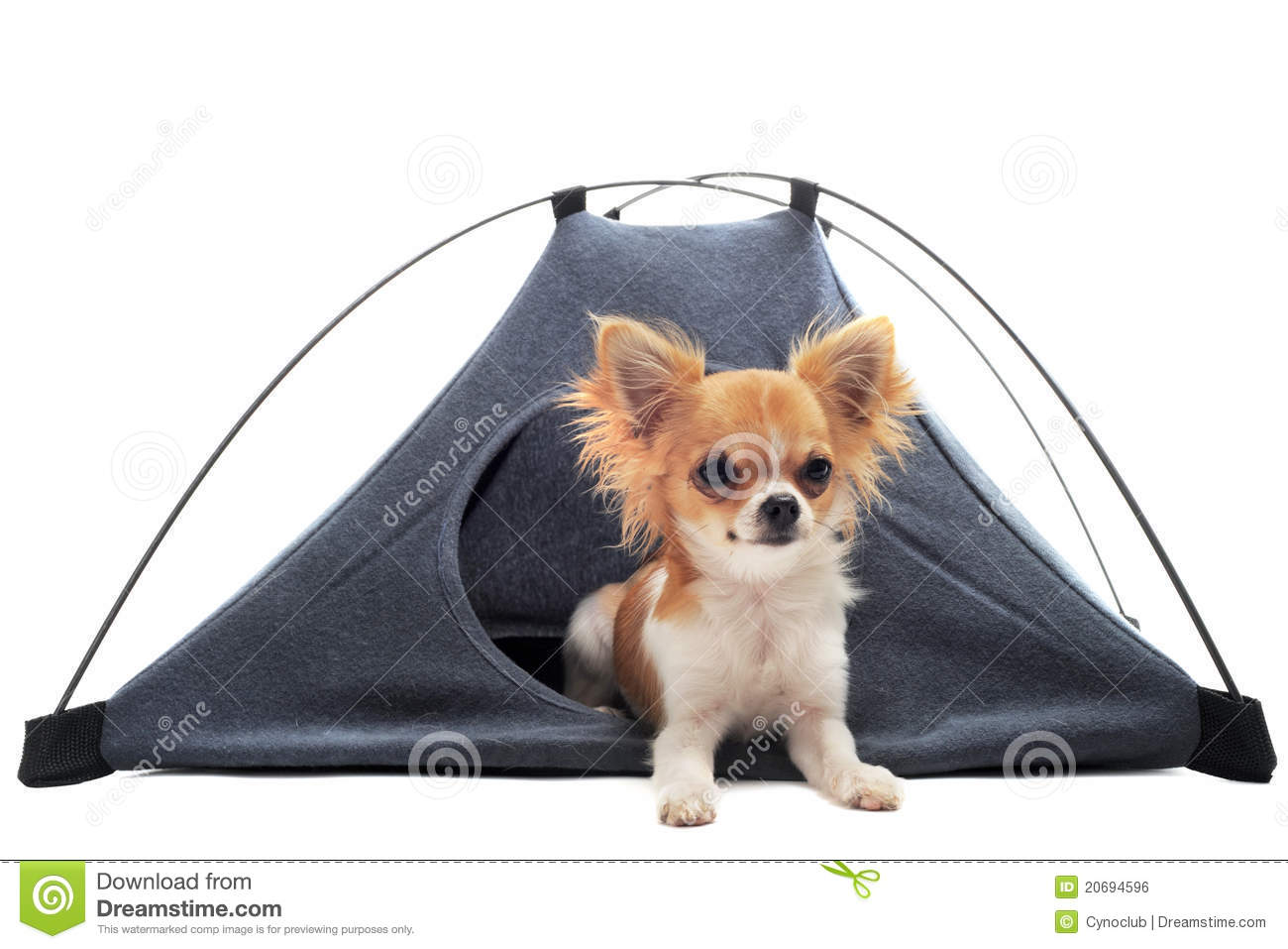 Puppy Chihuahua In Camp Tent Stock Photo - Image of puppy, animal