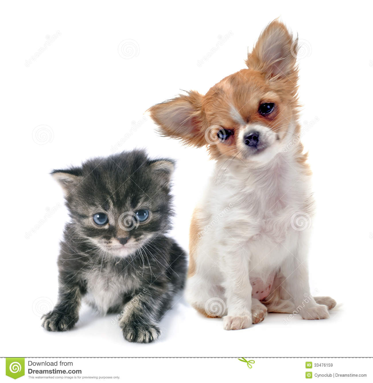 Portrait of a cute purebred puppy chihuahua and tabby cat in front of ...
