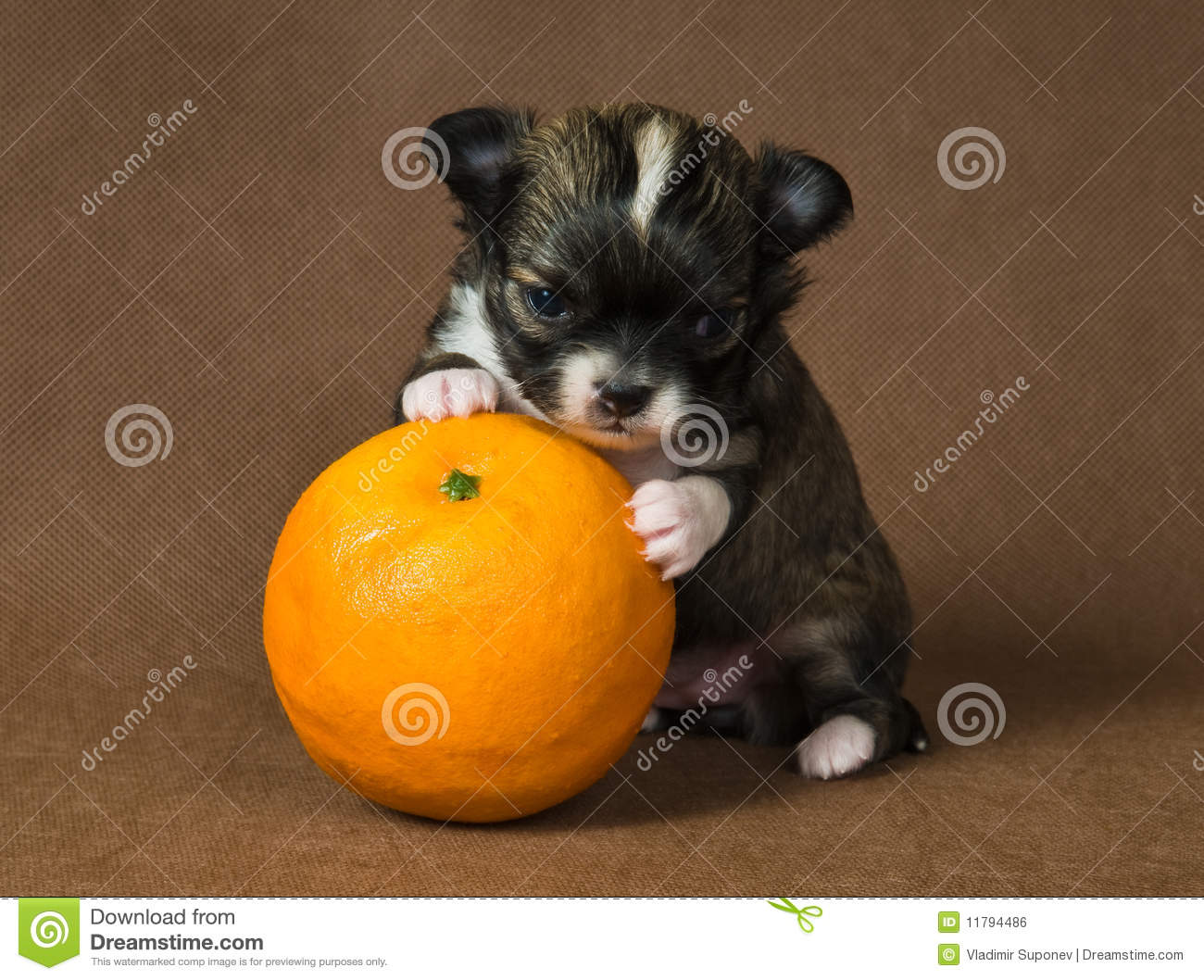 Puppy chihuahua with an orange