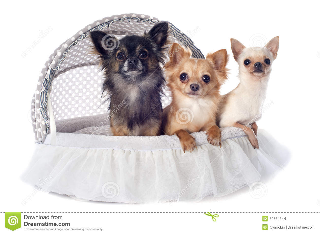 Puppy Chihuahua Stock Images Image 30364344 : puppy chihuahua portrait cute purebred front white background 30364344 from dreamstime.com size 1300 x 949 jpeg 109kB
