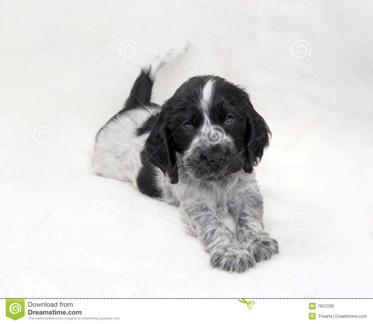 Puppy Cocker Spaniel Blue Roan Photos Free Royalty Free Stock Photos From Dreamstime