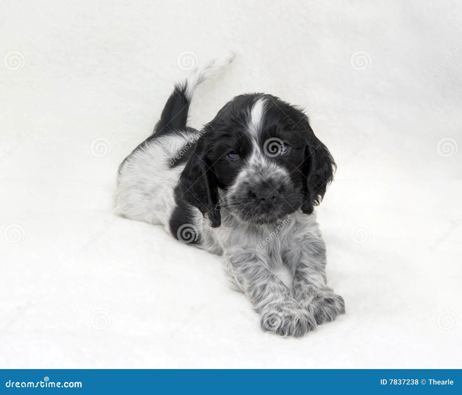 Puppy Cocker Spaniel Blue Roan Royalty Free Stock Photos