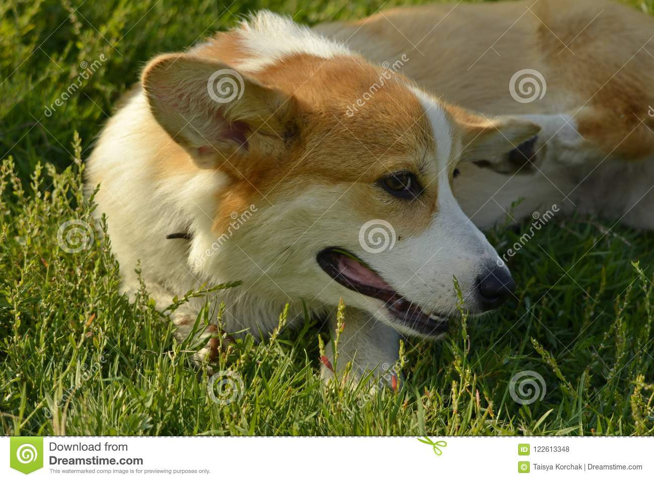 Image of: Training Puppy Corgi Pembroke On Walk Young Energetic Dog On Walk Puppies Education Cynology Intensive Training Of Young Dogs Walking Dogs In Nature Daily Express Puppy Corgiyoung Energetic Dog On Walk Puppies Education