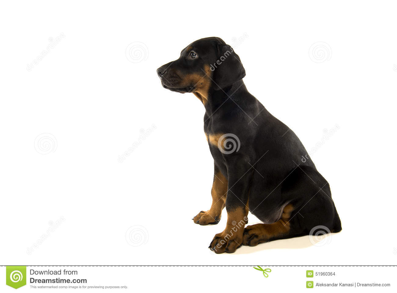 Puppy Of Doberman Pinscher Stock Photo Image Of Adorable 51960364