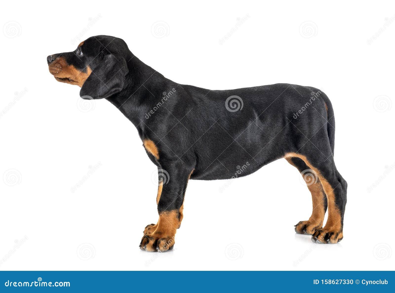 Puppy Doberman Pinscher Stock Photo Image Of Guard 158627330