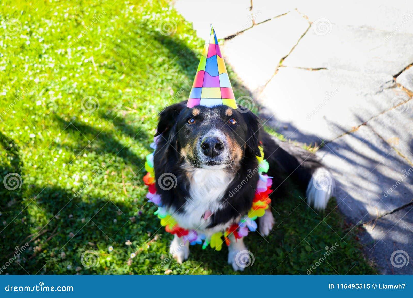 Puppy Dog Border collie Happy birthday celebration hat party