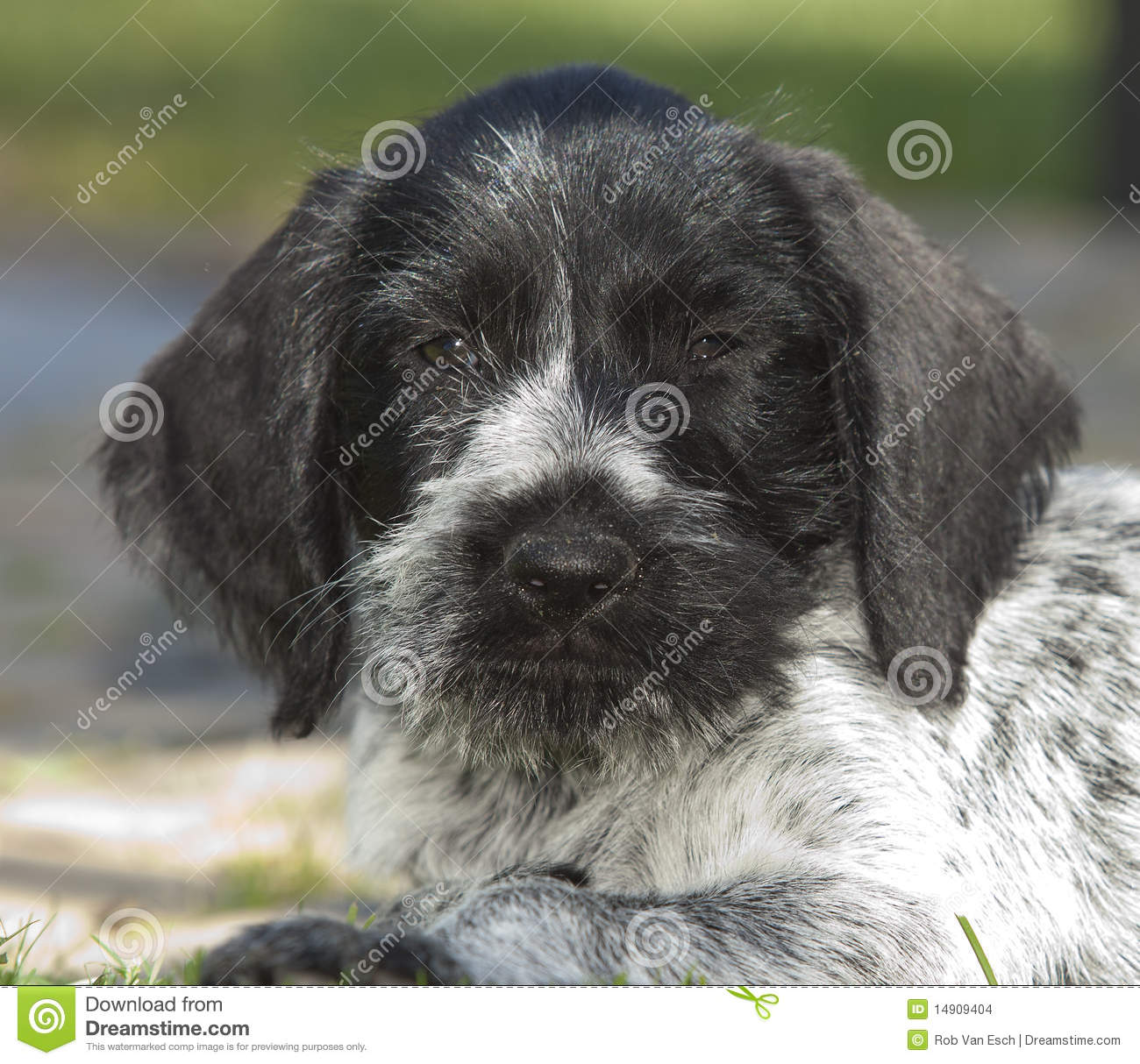 Puppy Dog German Shorthaired Pointer Stock Photo - Image of sweet ...
