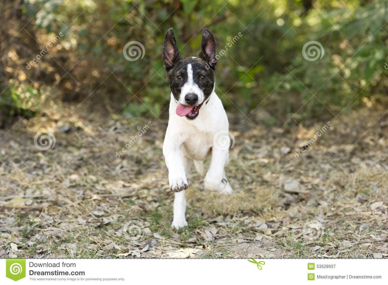 Excited Dog Running