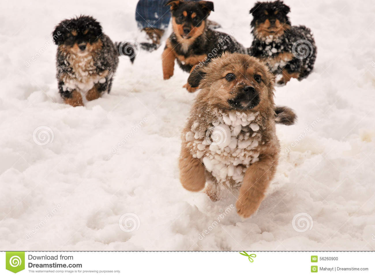 Puppy Dog Running In The Snow Stock Photo Image Of Carnivore