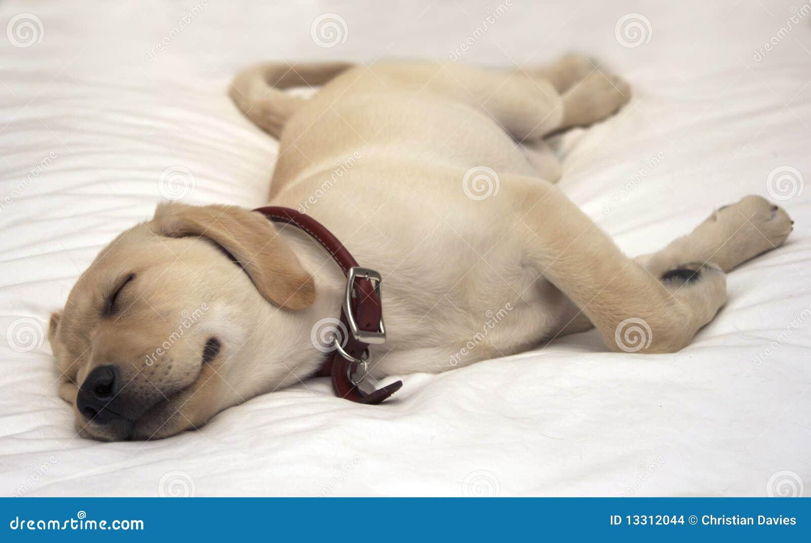 Puppy dog sleeping