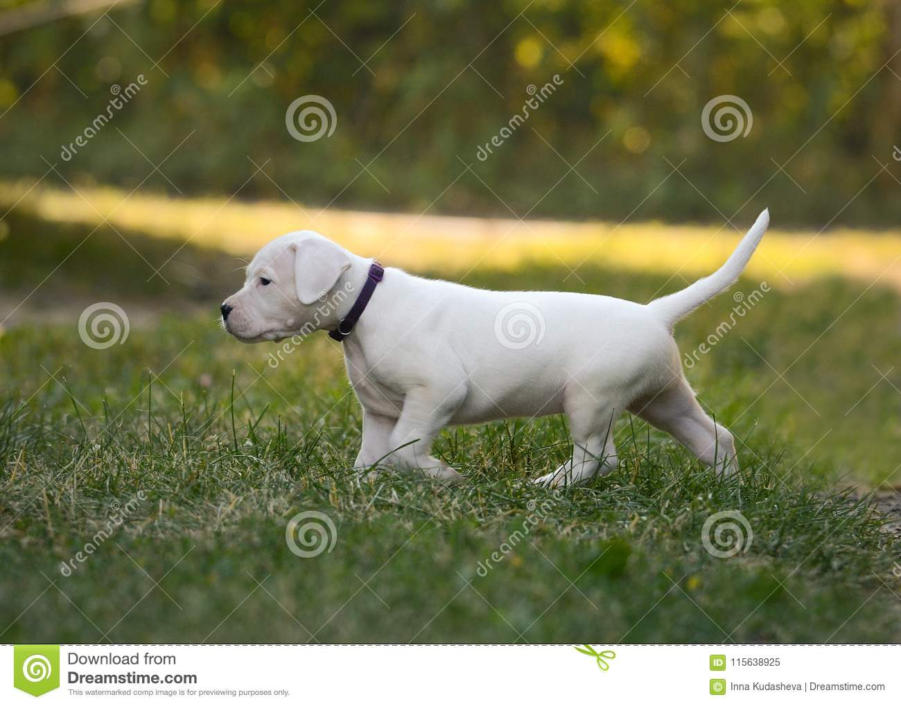 Puppy Dogo Argentino Going In Grass  Front View Stock Image - Image