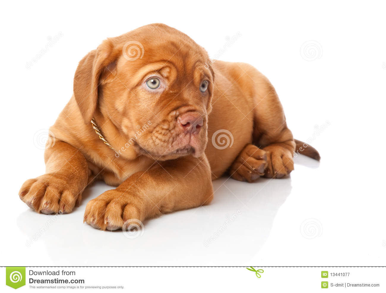 Dogue De Bordeaux Rescue And Adoption Adopt A Pet Com