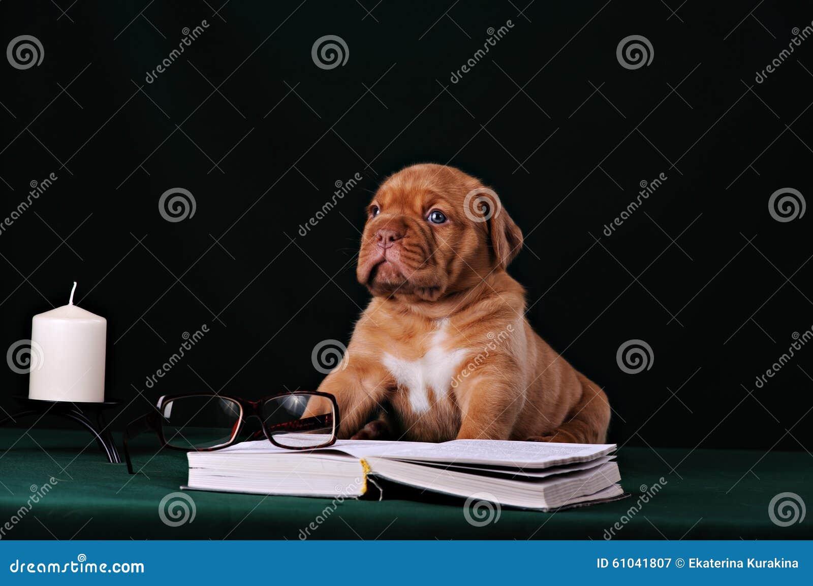 Puppy of Dogue de Bordeaux French mastiff