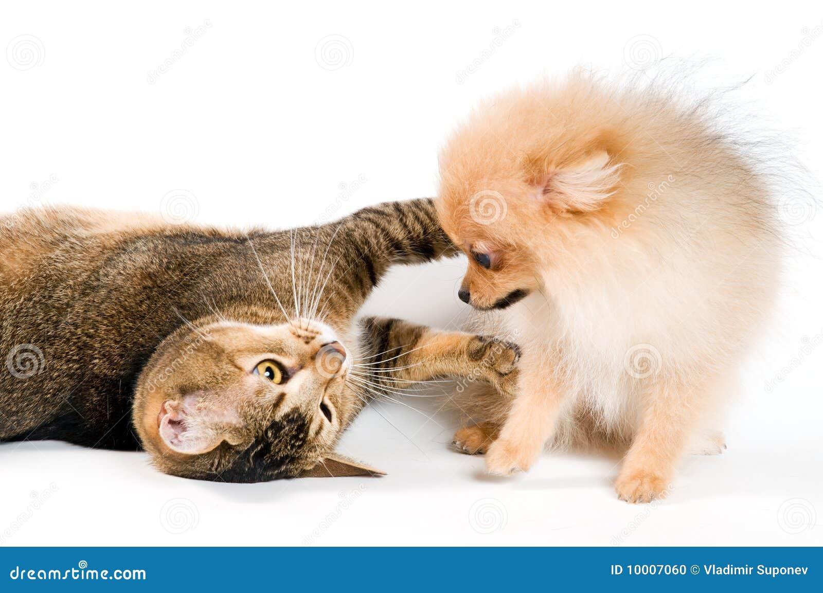 Puppy en kat in studio