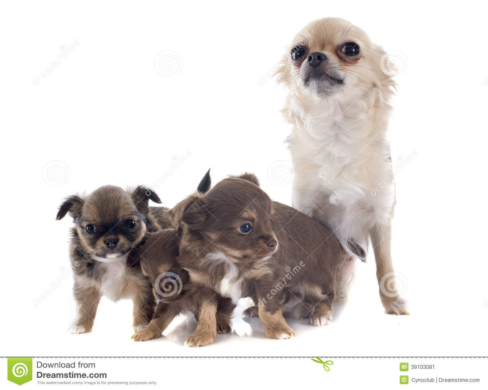 Puppy en volwassen chihuahua