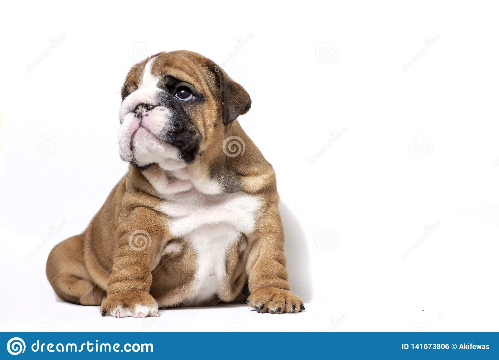 Puppy of English Bulldog on white background
