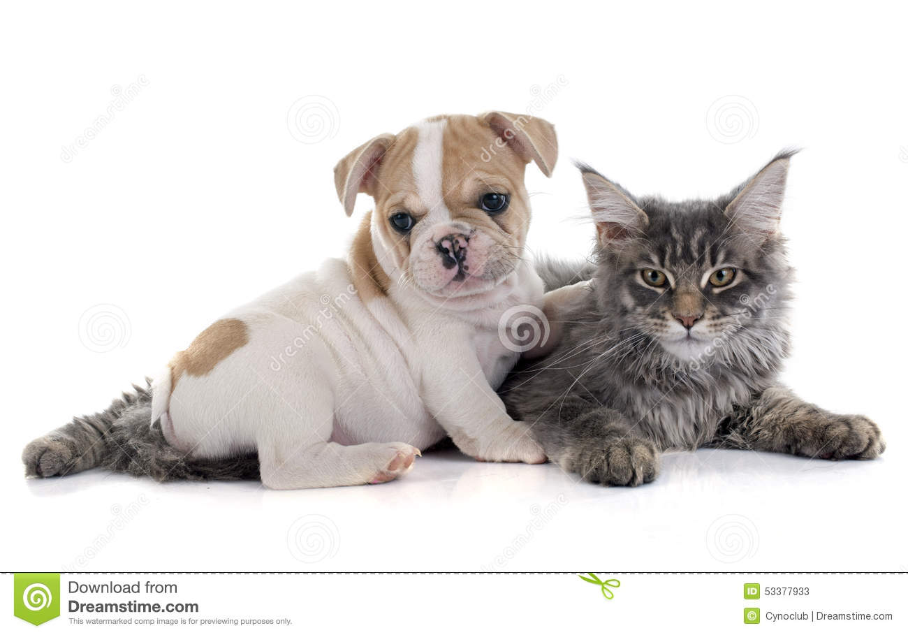 french bulldog maine puppy french bulldog and cat stock image image 53377933 6375