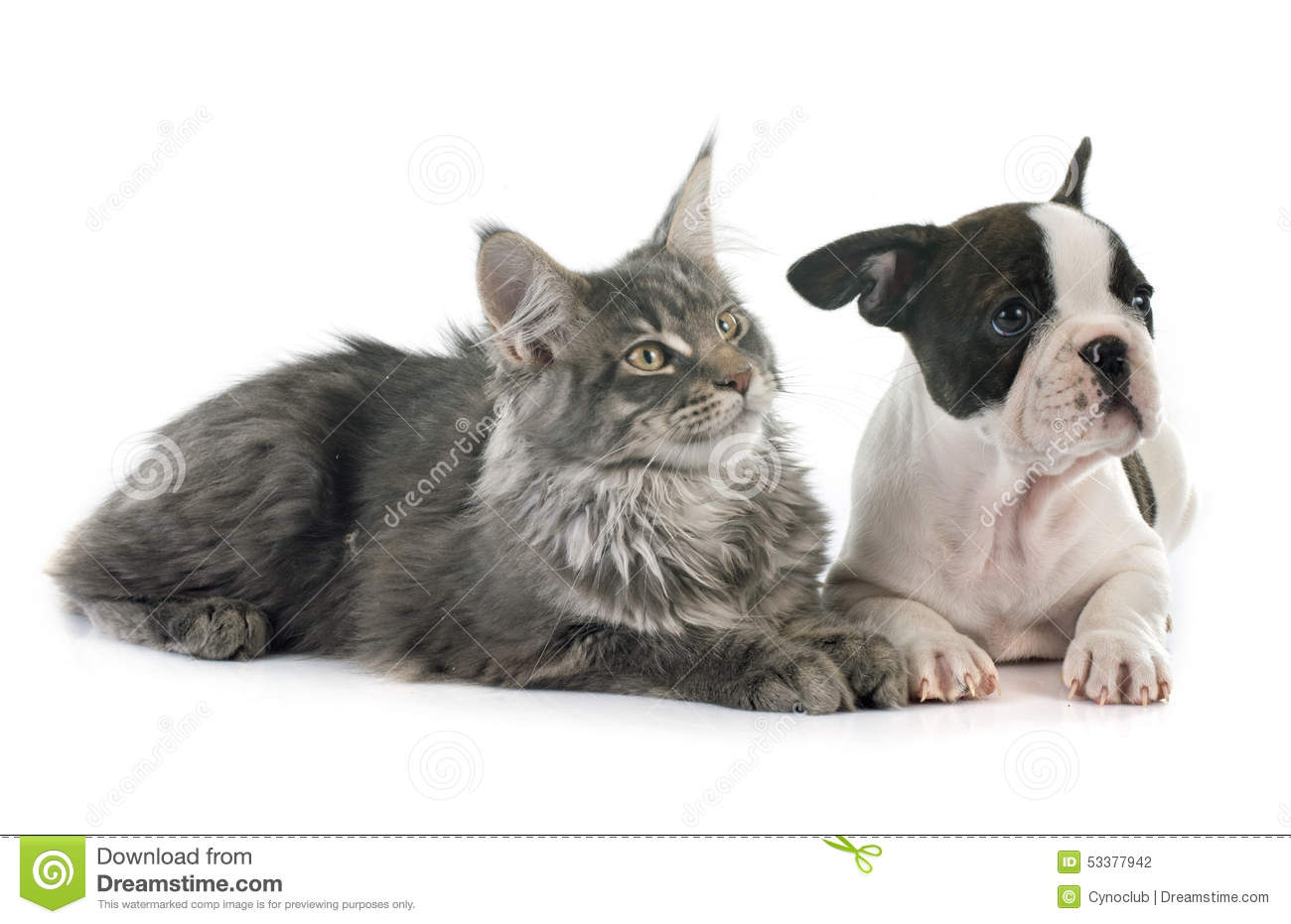 french bulldog maine puppy french bulldog and cat stock photo image 53377942 9945