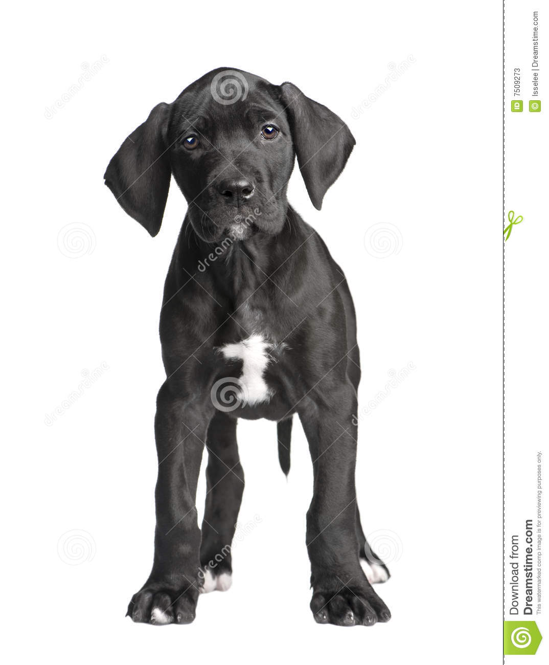 527 Great Dane Puppy White Background Photos Free Royalty Free Stock Photos From Dreamstime