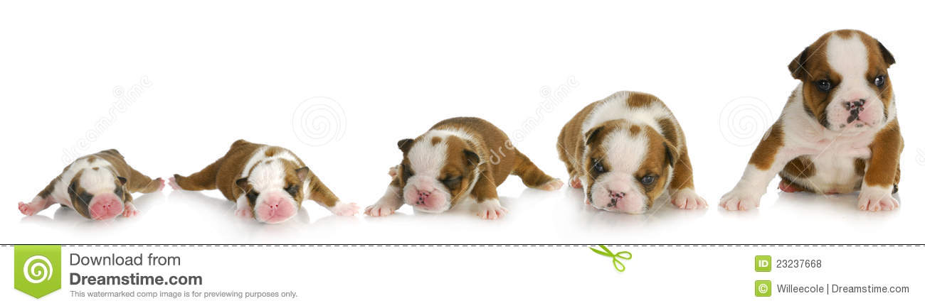 Puppy growth - english bulldog puppy at one day, one week, two weeks ...