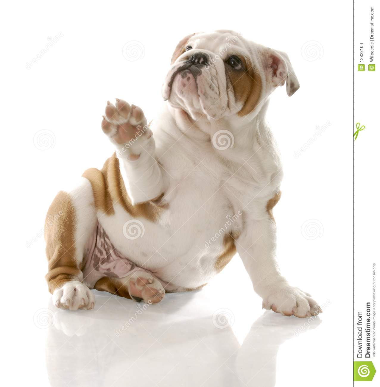 Puppy Holding Up Paw Stock Photo Image Of Born Curious 12823104