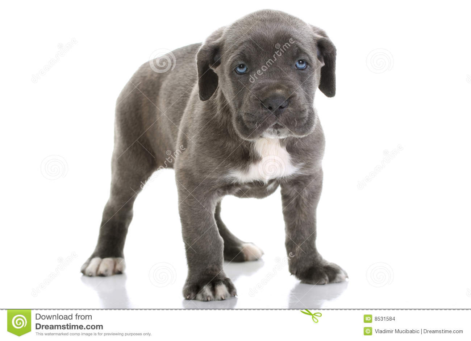 Puppy Italian Mastiff Cane Corso Stock Images - Image: 8531584