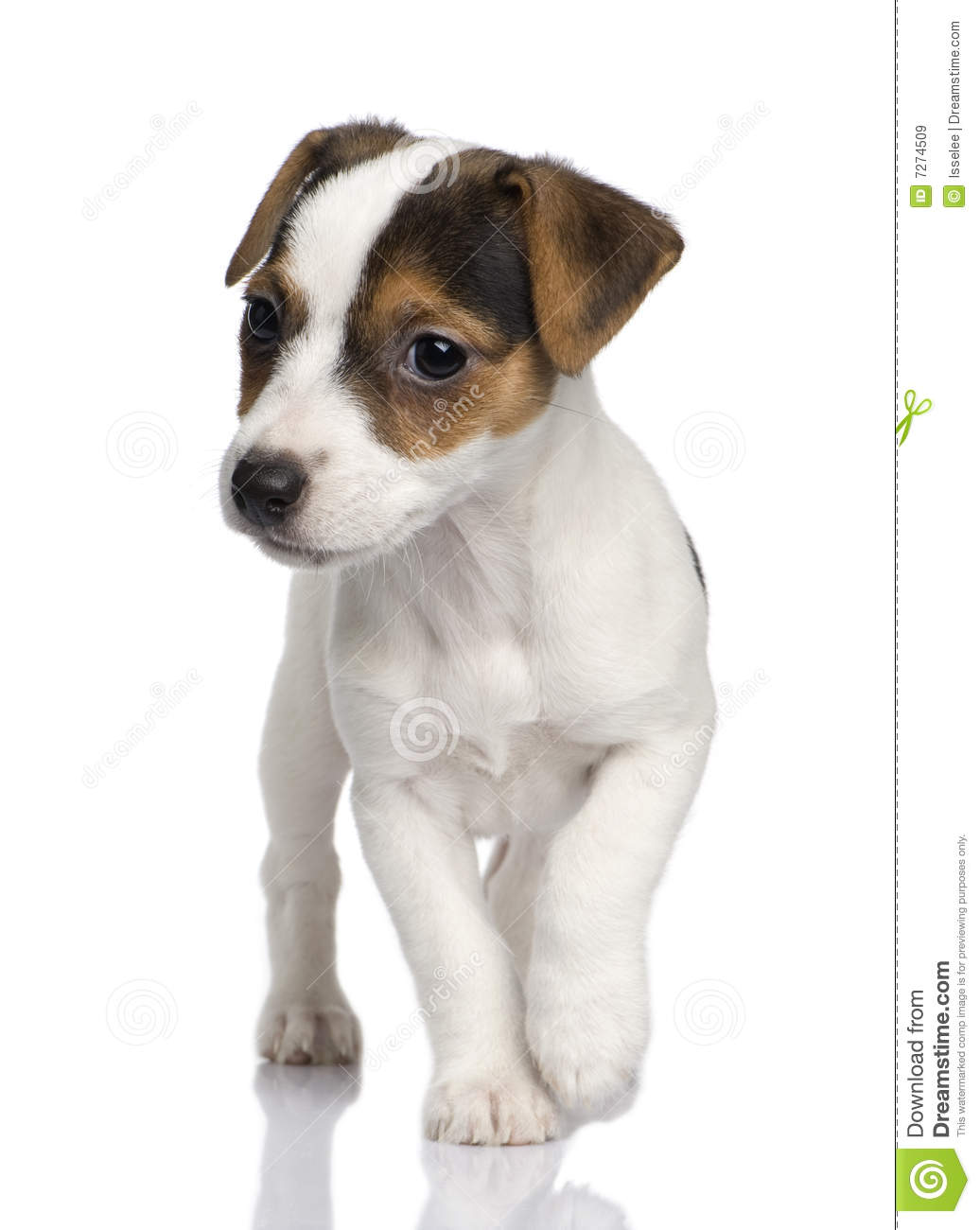 puppy jack russell (8 weeks) stock image - image of purebred