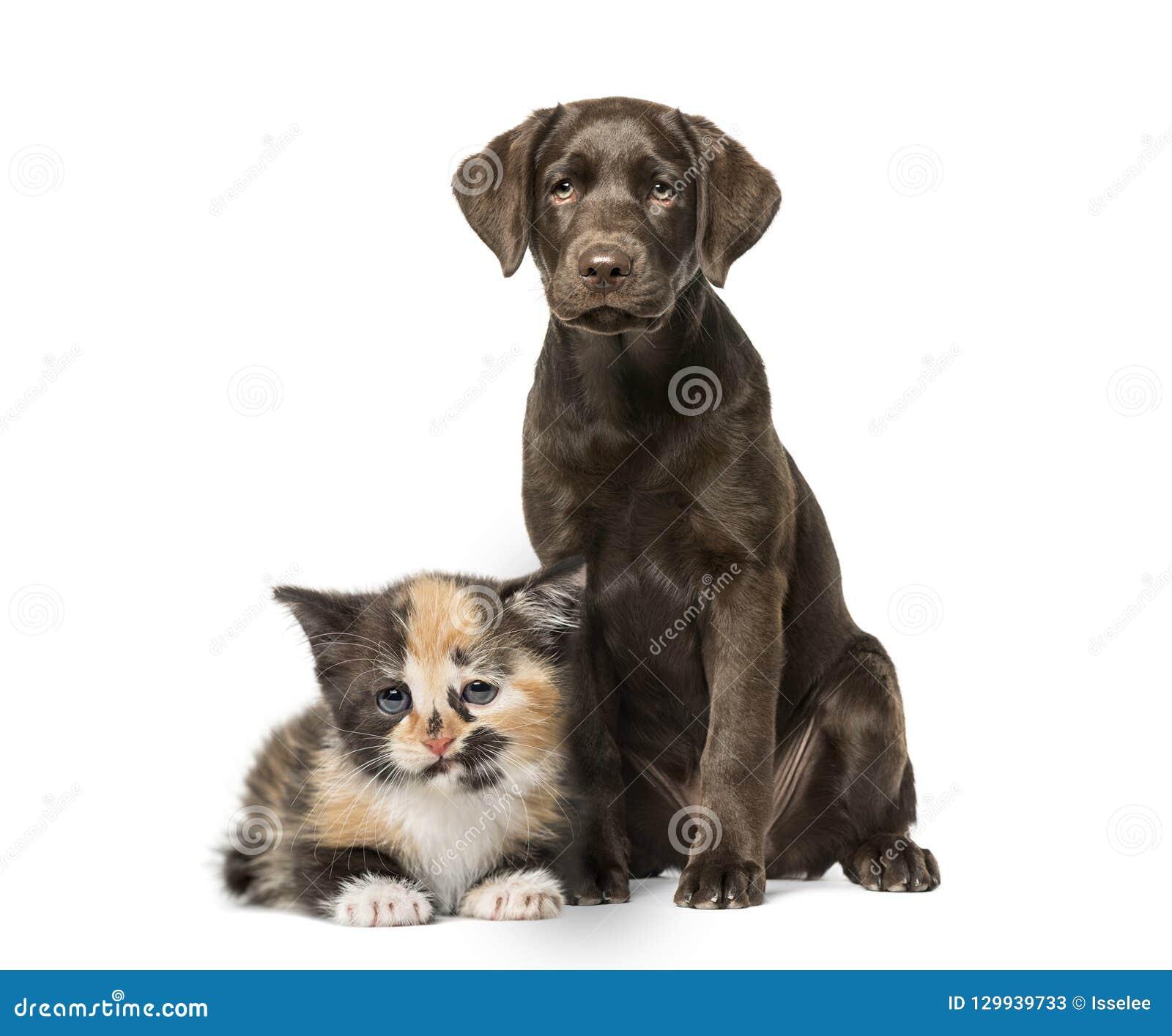 Puppy Labrador Retriever Sitting European Shorthair Kitten Stock Image Image Of Background Domestic 129939733