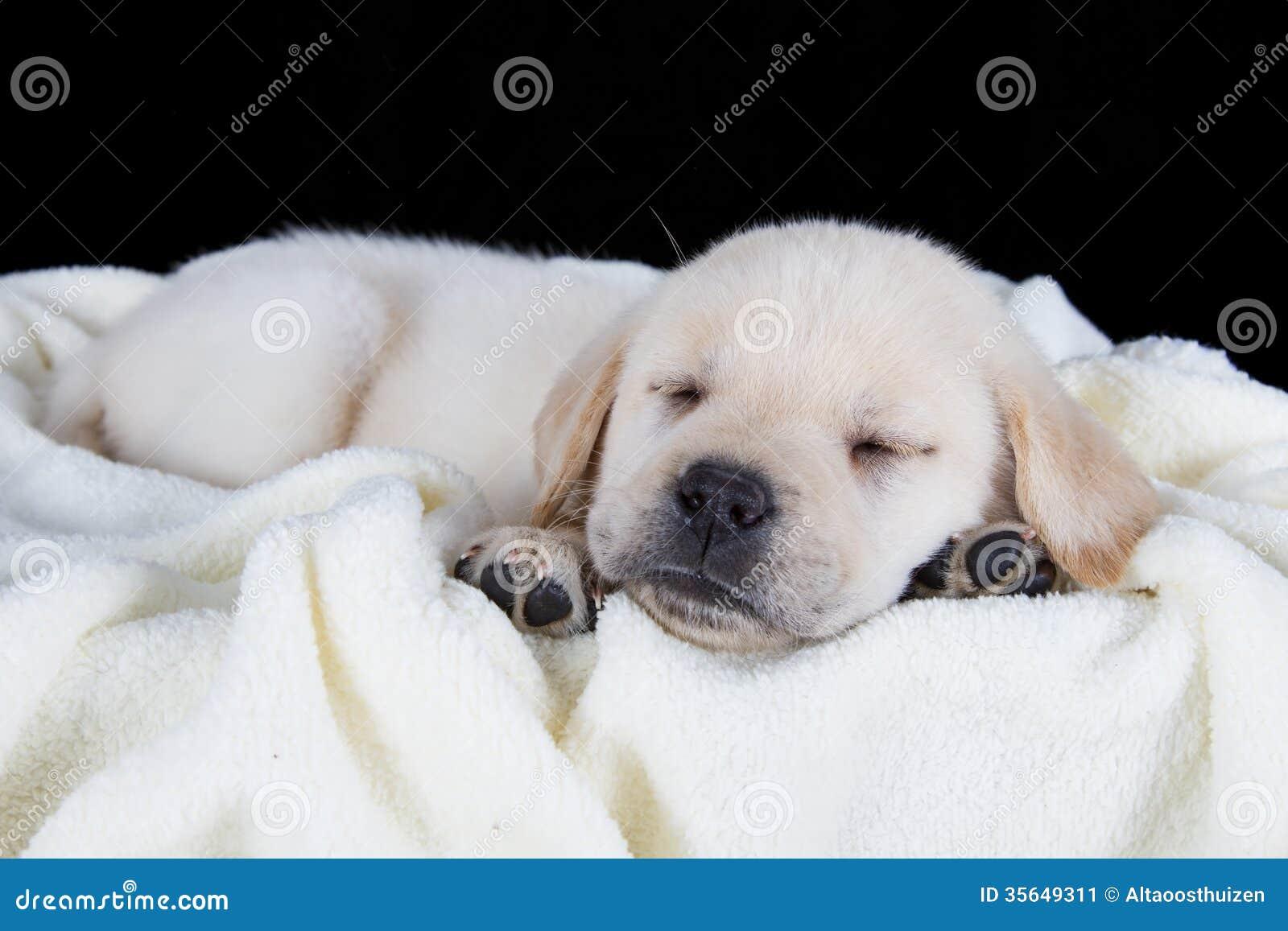Puppy Labrador Sleeping On White Fluffy Blanket Stock