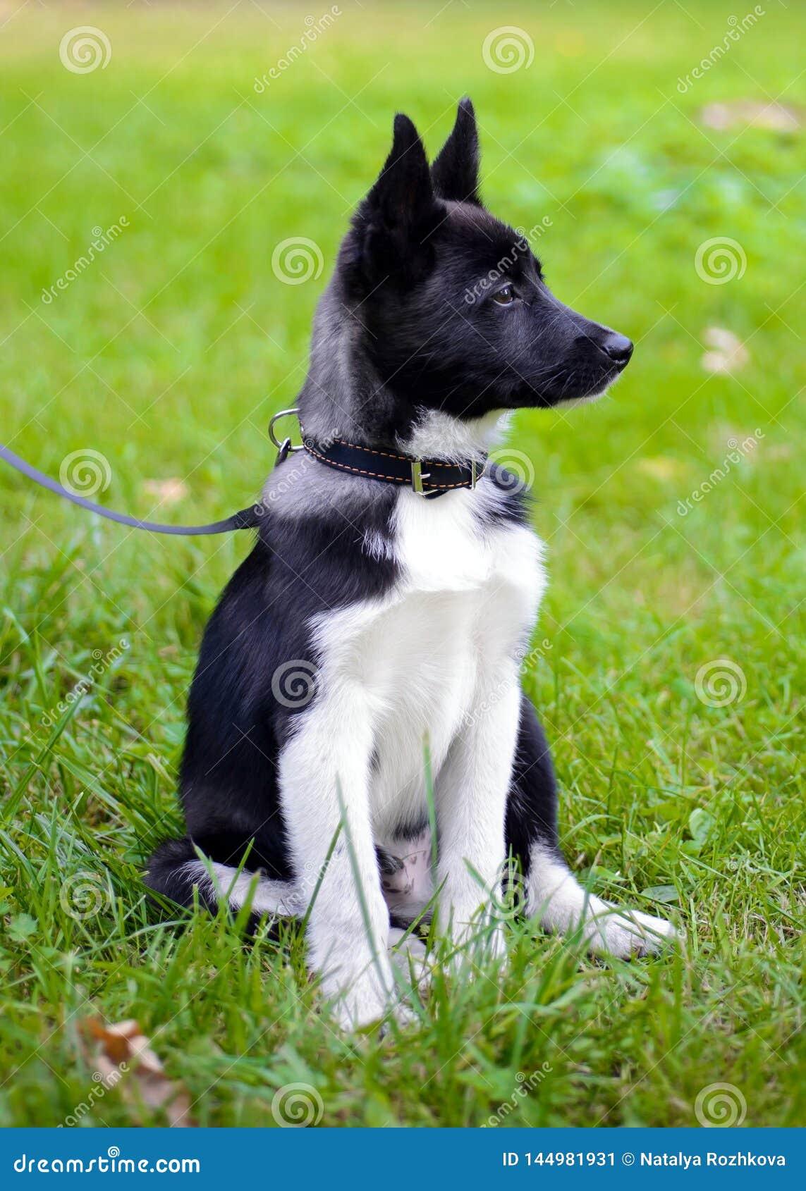 Puppy Laika op het gras