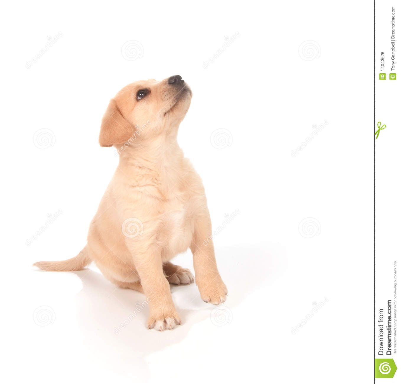 Puppy Looking Up Stock Photo Image Of Animal Cute Adorable 14043626