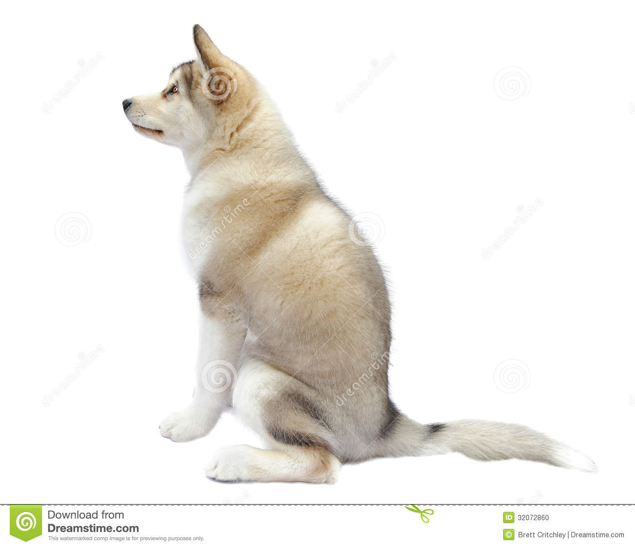 Puppy malamute dog stock photo image 32072860 for Puppy dog sitter