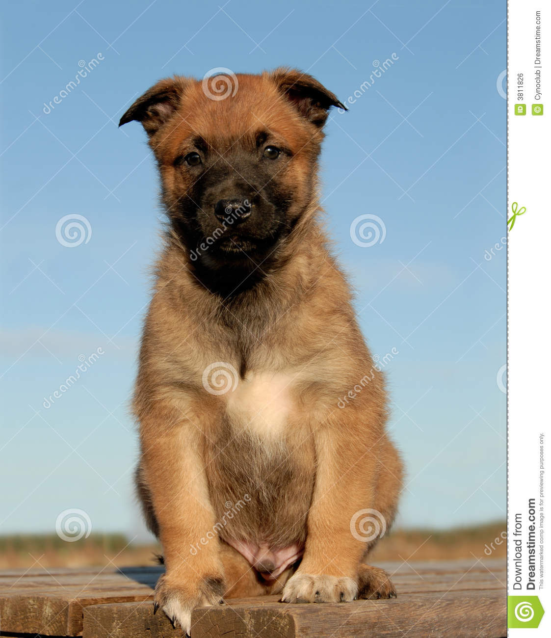 Young puppy purebred belgian shepherd malinois sitting on a table.