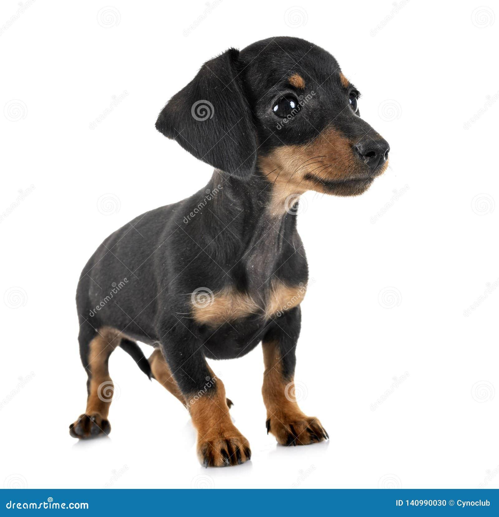 Puppy miniature dachshund