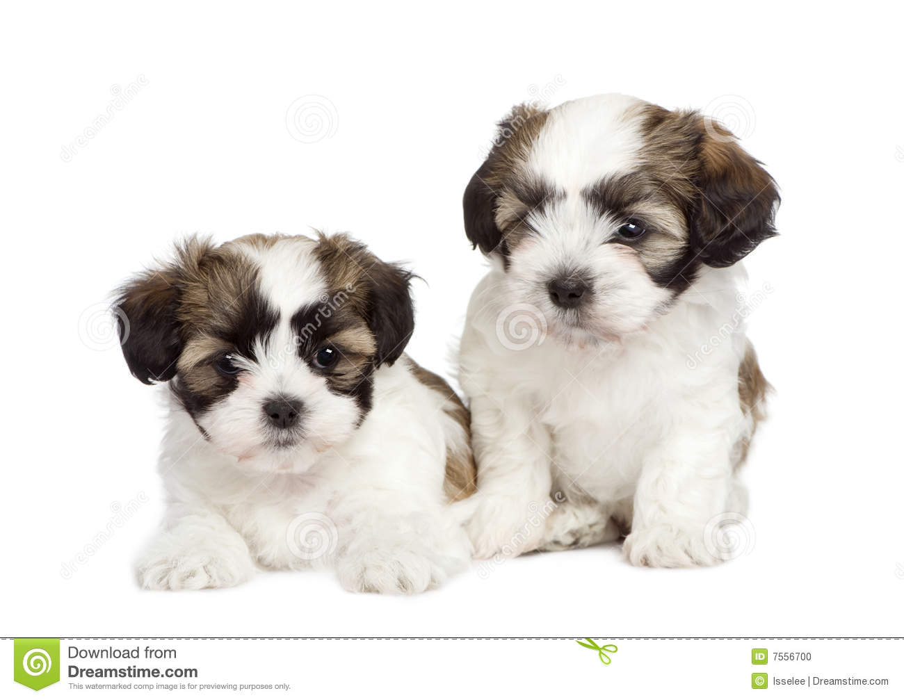 Puppy mixed-Breed Dog between Shih Tzu and maltese dog (7 weeks) in