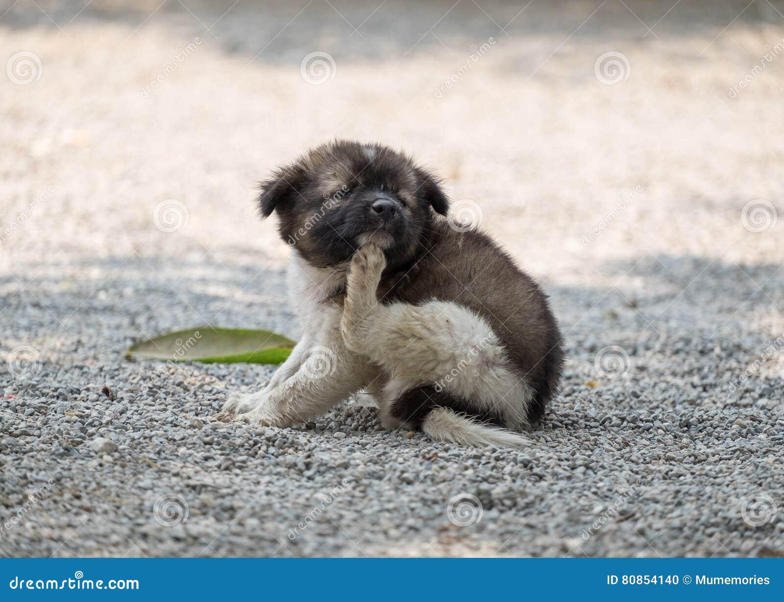 Puppy mollige het krassen jeuk