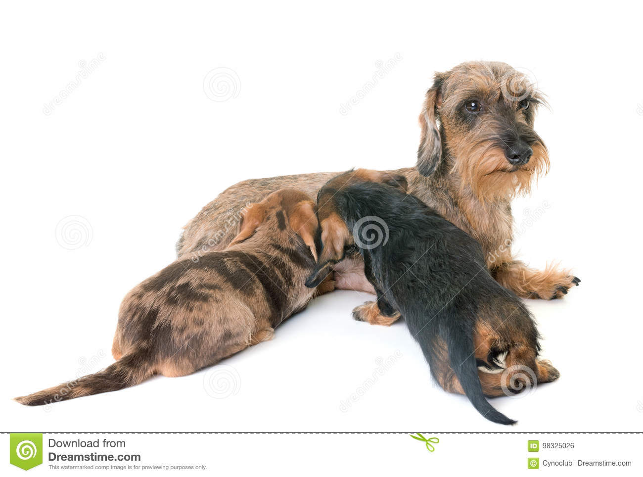 Puppy And Mother Wire-haired Dachshund Stock Photo - Image of ...