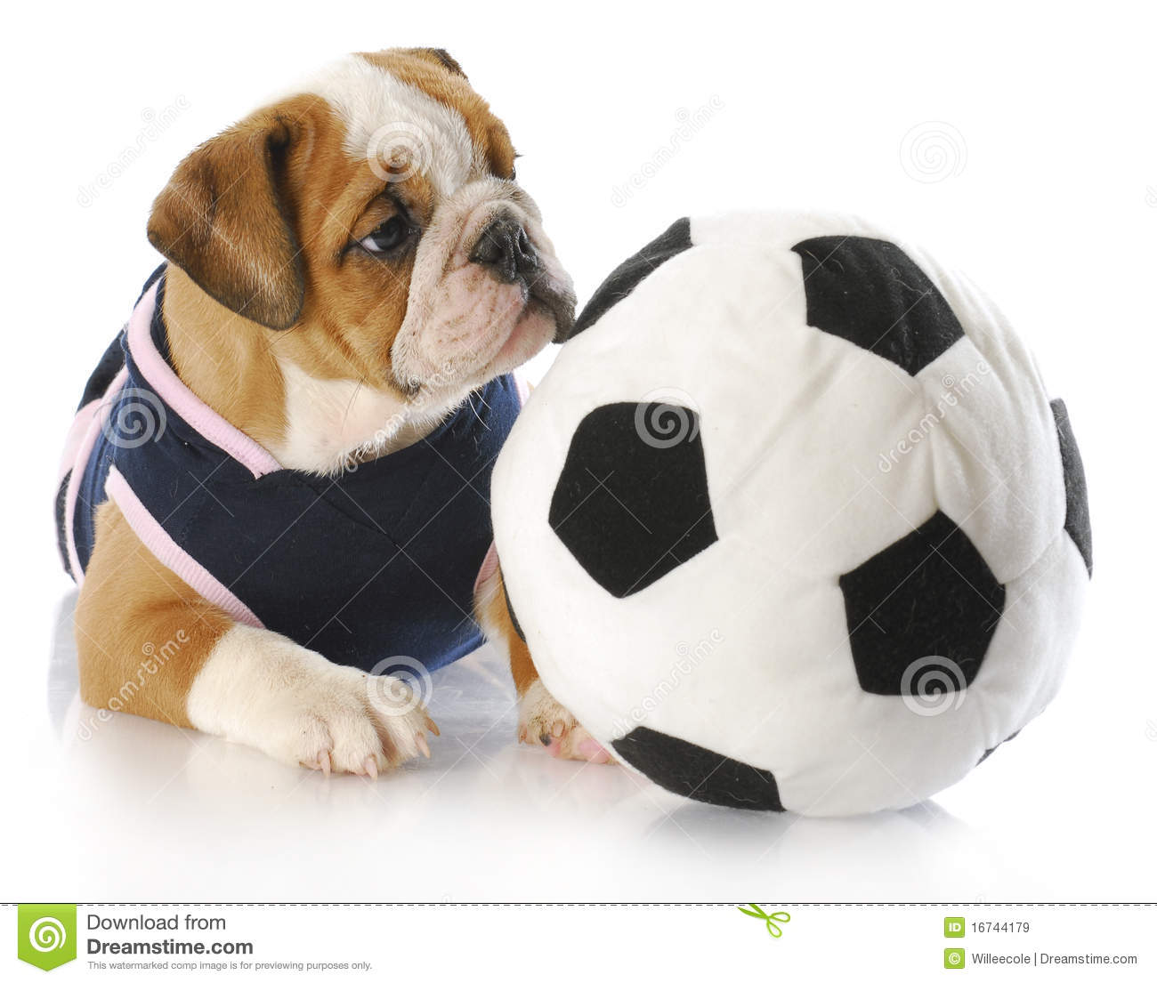 English bulldog puppy female wearing sports jersey playing with soccer ball 0a5d20a9a