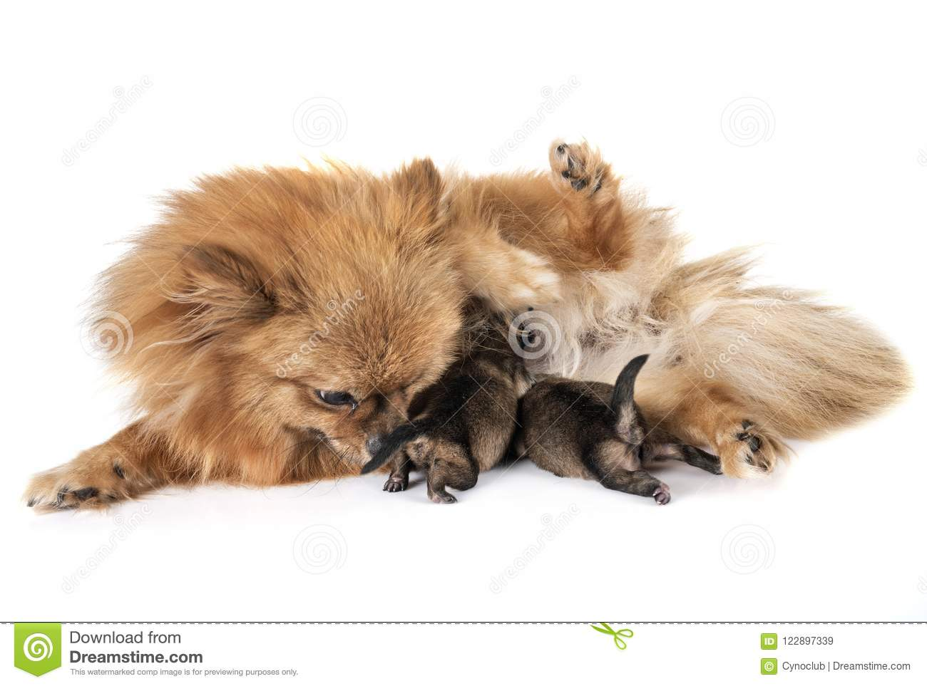 Mother Cute Puppy Image Stock Brown Pomeranian 122897339 Of