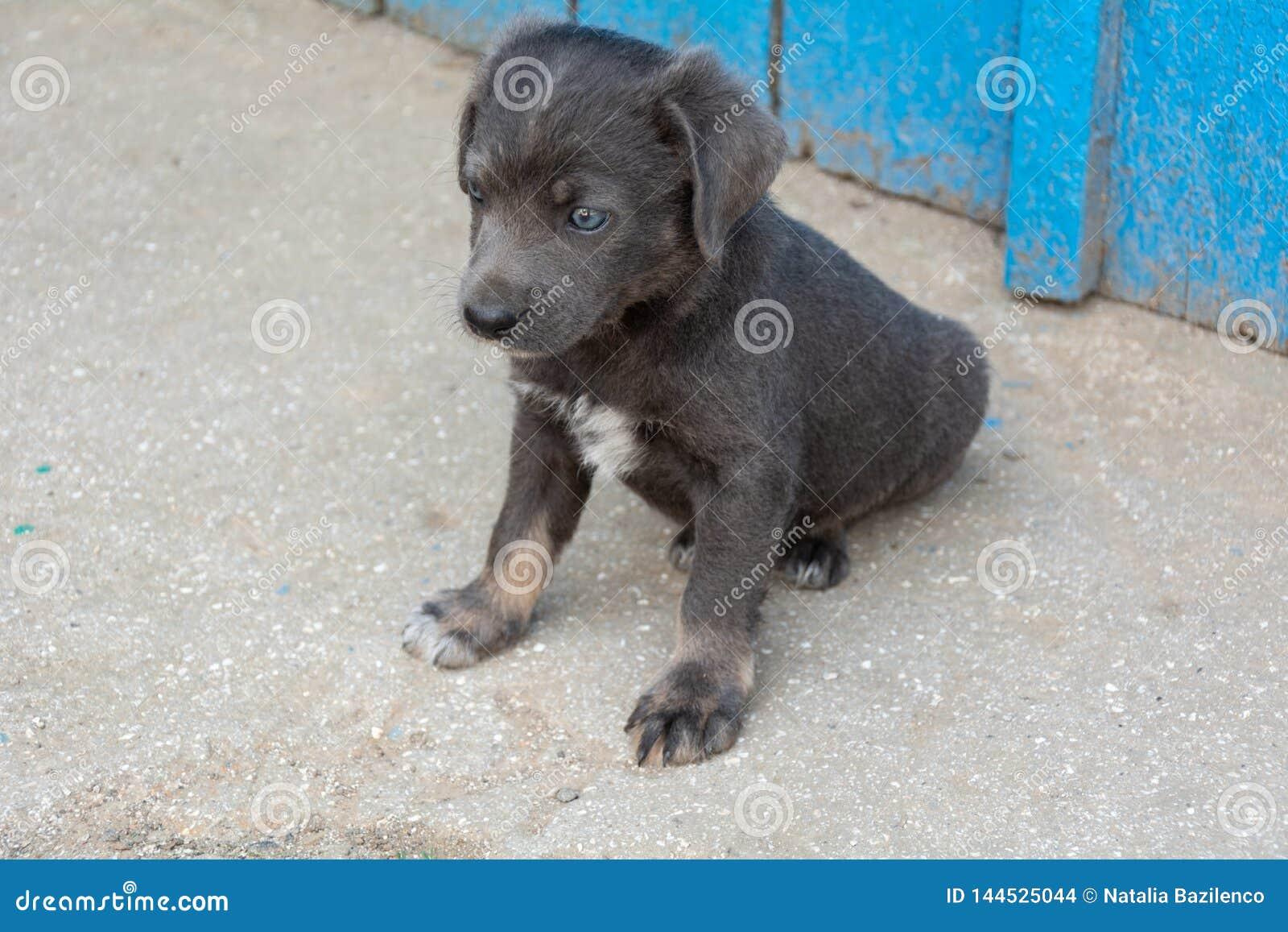Puppy pooch grijze kleur